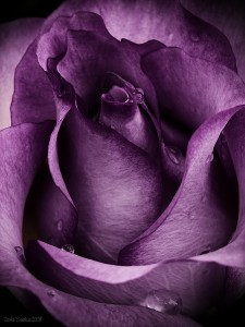 purple_rose_by_carlasophia-d194zpz